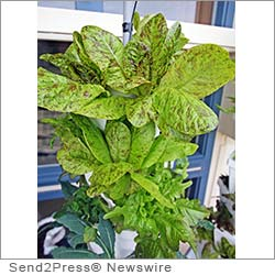 LAGUNA BEACH, Calif. (SEND2PRESS NEWSWIRE) -- Today, EnviroIngenuity's Hydroponic Vertical Farming Division announced its participation in a Green Planet Productions special feature on sustainable living.